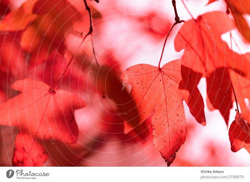 Herbstlich Natur Pflanze Baum rot Erholung Blatt ruhig Wald Leben Wärme natürlich Stimmung Park leuchten Vergänglichkeit