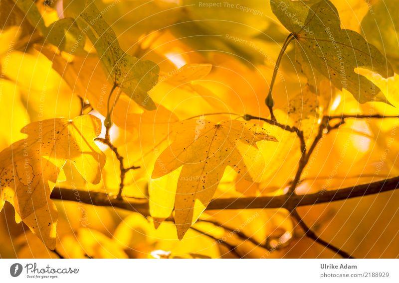 Im Herbst Natur Pflanze Sonnenlicht Baum Blatt Herbstlaub Ahorn Ahornblatt Ahornzweig herbstlich Herbstfärbung Garten Park glänzend leuchten gelb orange schön