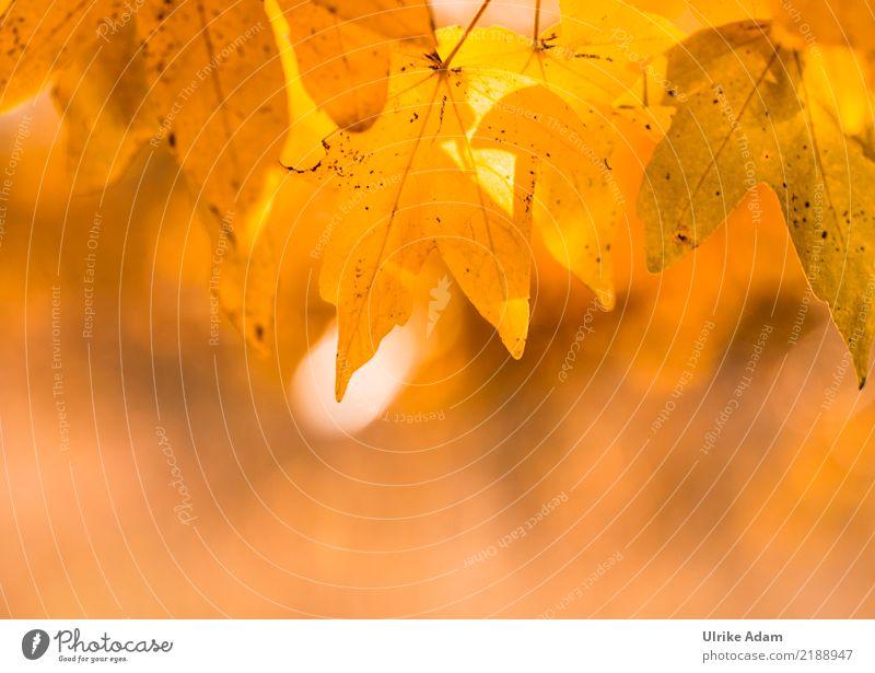 Blätterdach im Herbst Design Wellness harmonisch Wohlgefühl Zufriedenheit Erholung ruhig Meditation Tapete Erntedankfest Natur Pflanze Sonne Sonnenaufgang
