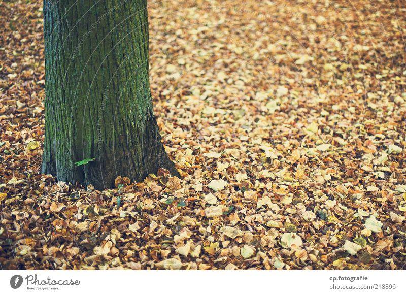 Gekommen um zu sterben Umwelt Natur Pflanze Erde Herbst Schönes Wetter Baum Blatt Laubbaum Farbfoto Tag Schwache Tiefenschärfe Baumstamm Baumrinde Herbstlaub