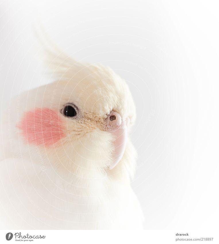 weiß schön rot Tier Auge Vogel authentisch Feder Tiergesicht exotisch Haustier Schnabel Sittich Papageienvogel Perspektive Kopf