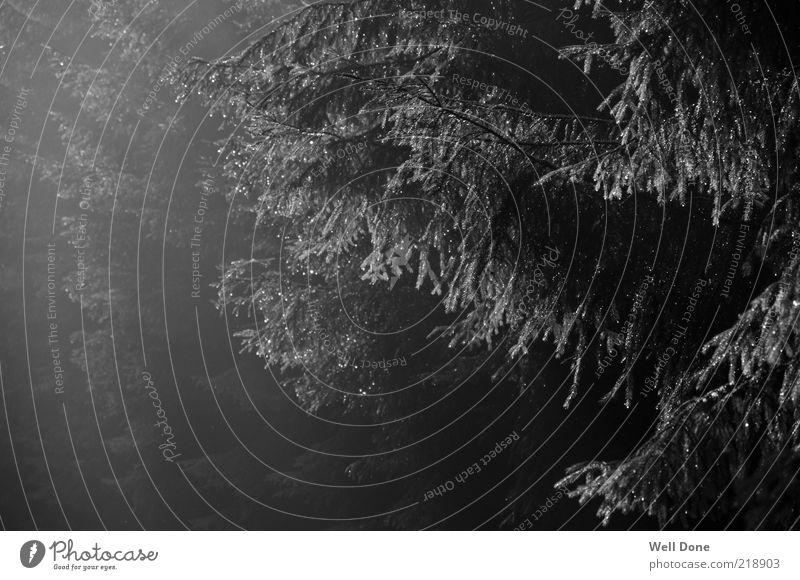 B.C. Style Natur Baum ruhig Wald dunkel Stil Regen Nebel Ast Duft Schwarzweißfoto schlechtes Wetter Nadelbaum Lichteinfall ungemütlich Düsterwald