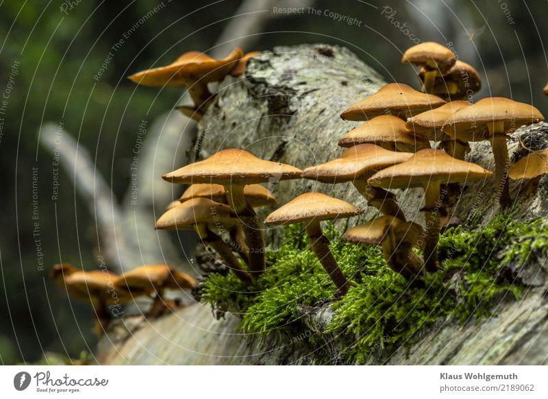 Stockschwämmchen?? Lebensmittel Pilz Umwelt Natur Pflanze Herbst Baum Moos Wald Holz Wachstum dunkel braun gelb grün schwarz weiß Birke Pilzhut Pilzsucher