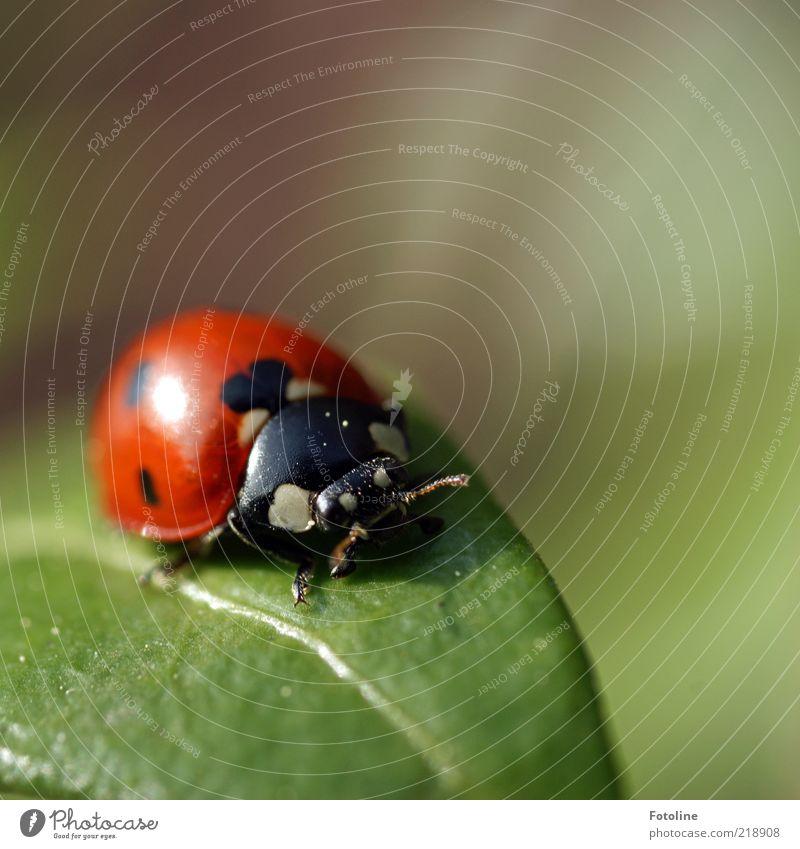 Marini Umwelt Natur Pflanze Tier Blatt Wildtier Käfer Flügel 1 hell natürlich grün rot schwarz weiß Insekt Marienkäfer Fühler Farbfoto mehrfarbig Außenaufnahme