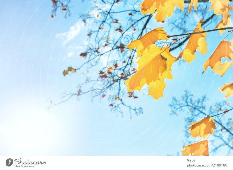 Orange und gelbe Ahornblätter des Herbstes Himmel Natur Pflanze blau Farbe weiß Sonne Baum Landschaft rot Wolken Blatt Wald Umwelt
