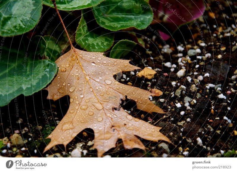 nach dem regen Pflanze Erde Wassertropfen Herbst schlechtes Wetter Regen Blatt Grünpflanze Tropfen ästhetisch nass natürlich schön braun grün schwarz Natur