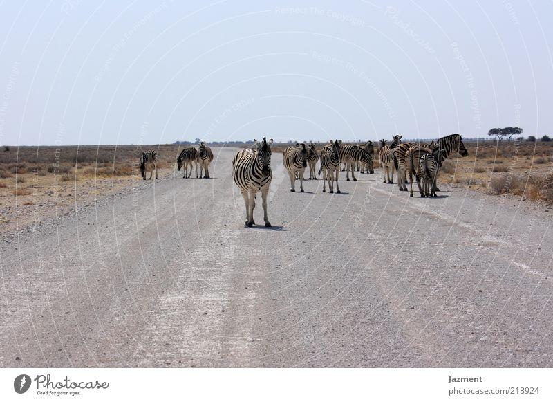 Pause Tier Ferne Straße Wärme warten stehen Wildtier trocken viele Steppe Zebra Herde Wildnis Überqueren Schotterstraße Wolkenloser Himmel