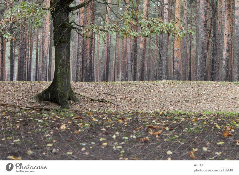 Waldgeflüster Natur ruhig Einsamkeit Gefühle Holz Erde frei Romantik natürlich geheimnisvoll Baumstamm Herbstlaub herbstlich Herbstwald Erholungsgebiet