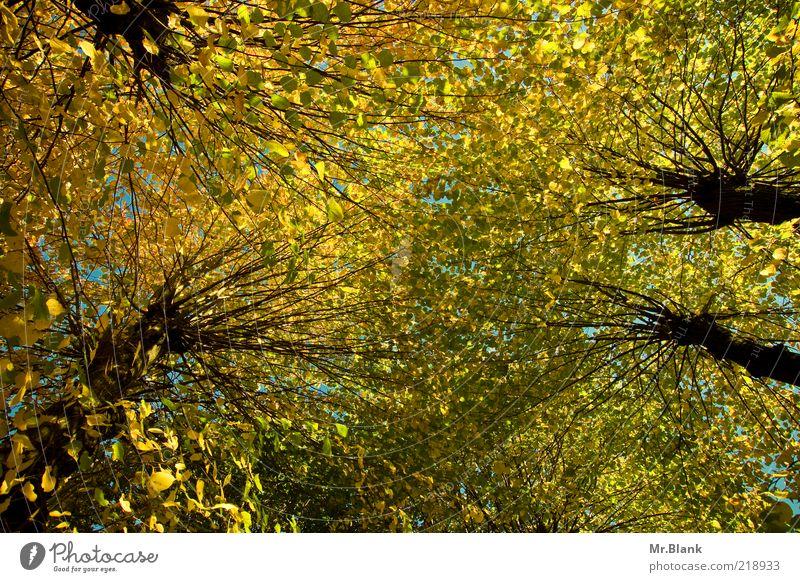 Blätterdach, ach.. Natur Pflanze Herbst Baum Blatt gelb grün aufwärts Durchblick Baumkrone Farbfoto Außenaufnahme Menschenleer Tag Weitwinkel Herbstfärbung