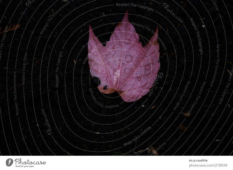 loses Umwelt Natur Pflanze Herbst Blatt unbeständig Vergänglichkeit rosa Färbung Erde Farbfoto Außenaufnahme Nahaufnahme Menschenleer Textfreiraum links