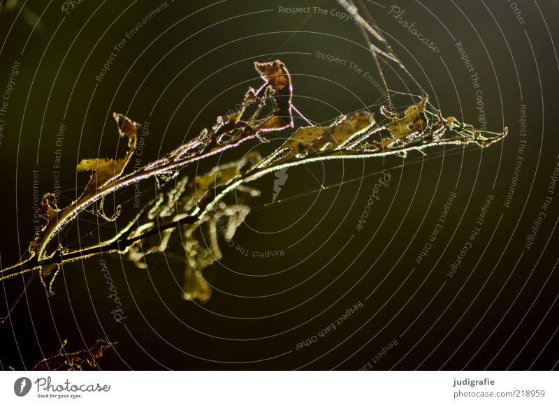 Waldgepinnst Umwelt Natur Pflanze Herbst Blatt dunkel natürlich trocken Stimmung Leben Tod Vergänglichkeit Spinnennetz Farbfoto Gedeckte Farben Außenaufnahme