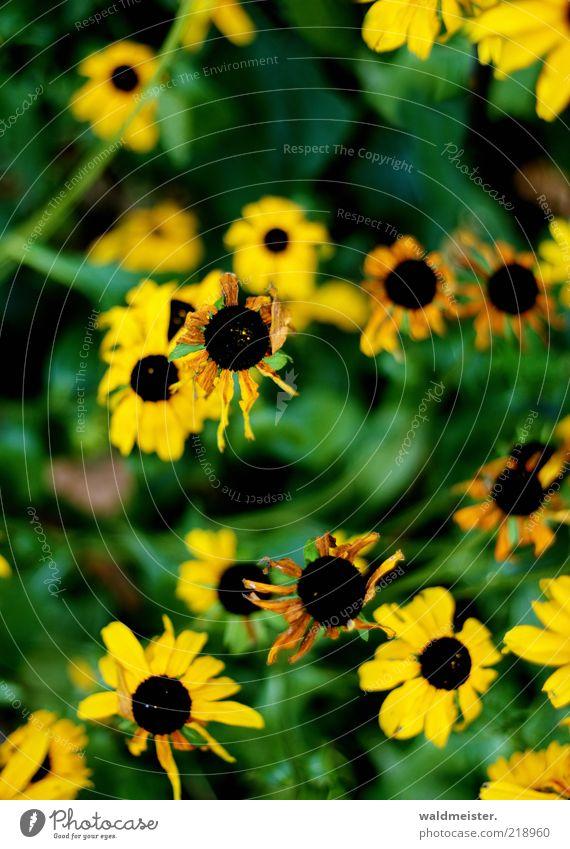 Letzte Blumen des Sommers grün Pflanze schwarz gelb Blüte braun Vergänglichkeit Verfall verblüht