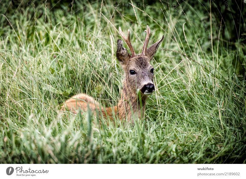 """NATUR - Rehbock Natur Gras Tier Wildtier """"Rehbock Wild,"""" """"Wildwechsel,"""" Fressen Farbfoto Außenaufnahme"""