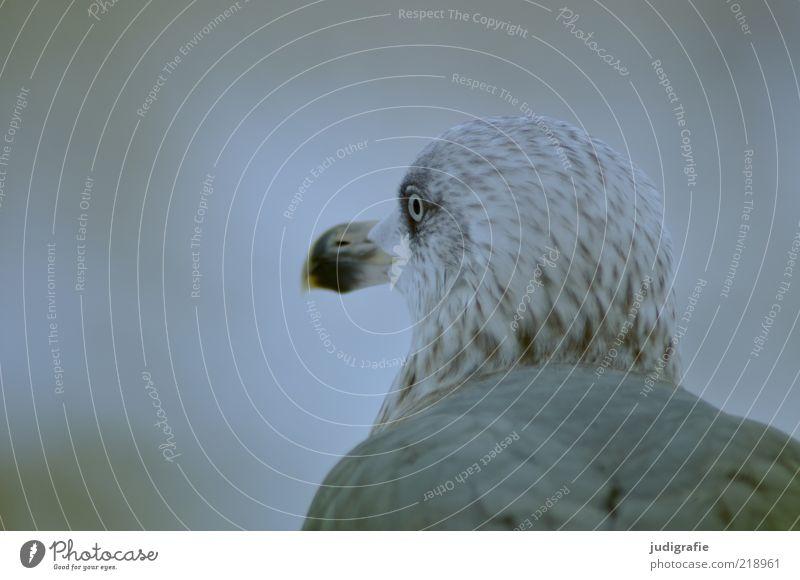 Möwe Natur ruhig Auge Tier kalt Kopf warten sitzen trist Feder beobachten natürlich Wildtier Möwe Vogel Silbermöwe