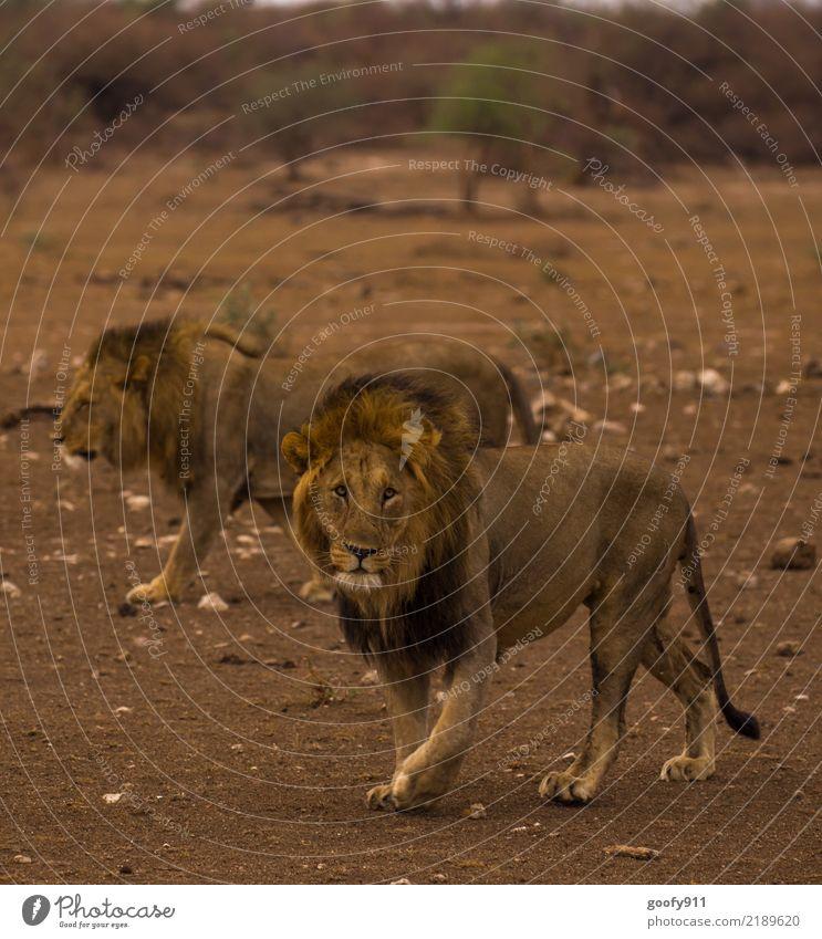 Auf Streifzug..... Natur Ferien & Urlaub & Reisen Sommer Landschaft Tier Ferne Umwelt Tourismus Ausflug Tierpaar Wildtier Abenteuer groß beobachten Wüste Fell
