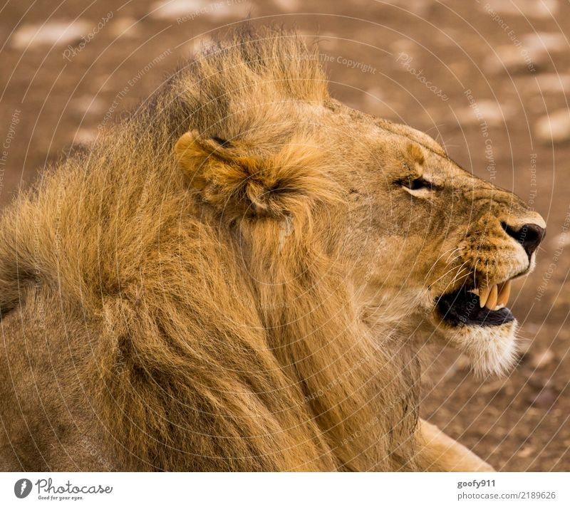 Schlechte Laune!!!! Natur Ferien & Urlaub & Reisen Sommer Tier Ferne Umwelt Tourismus Ausflug Wildtier Kraft Abenteuer groß beobachten bedrohlich Wüste Wut