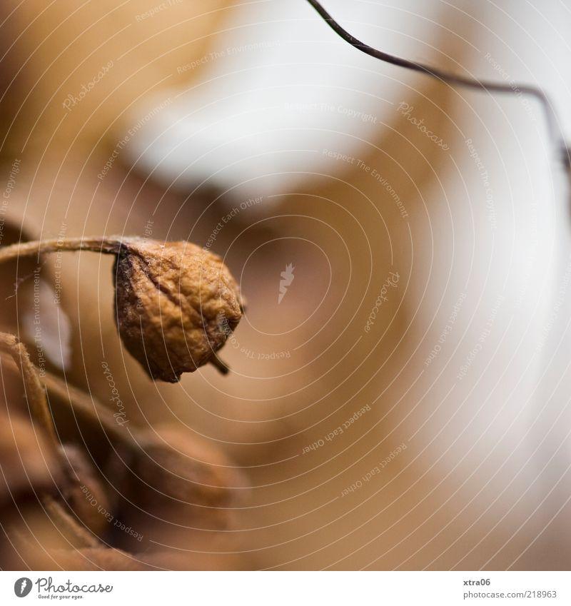 braun Natur Pflanze Herbst Farbfoto Außenaufnahme Nahaufnahme Detailaufnahme Textfreiraum rechts Schwache Tiefenschärfe vertrocknet schrumplig Blüte welk
