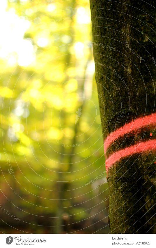 Herbststreifen Natur Pflanze Schönes Wetter Baum Wald alt standhaft Baumstamm Streifen Farbfoto Außenaufnahme Detailaufnahme Menschenleer Tag