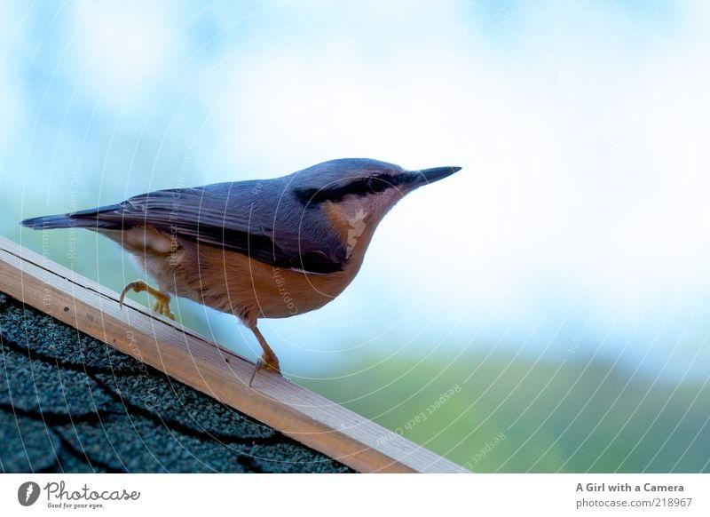 Kleiberei Tier Schönes Wetter Vogel Sperlingsvögel 1 beobachten ästhetisch außergewöhnlich exotisch listig weich blau mehrfarbig gold Futterhäuschen Futterplatz
