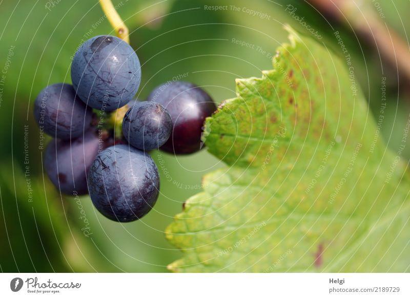 badischer Wein Umwelt Natur Pflanze Herbst Schönes Wetter Blatt Nutzpflanze Weintrauben Feld hängen Wachstum authentisch frisch klein lecker rund blau braun