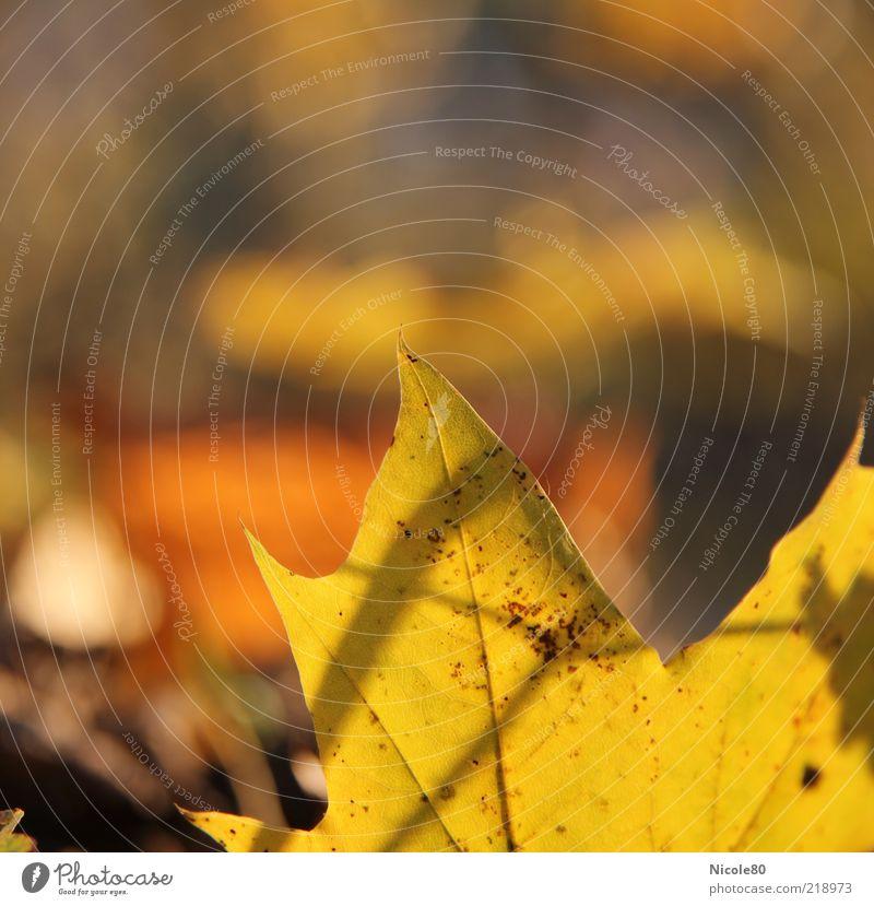 Blattgold [10/2010] Umwelt Natur Pflanze Herbst Ahornblatt Farbfoto Außenaufnahme Textfreiraum links Textfreiraum oben Tag Sonnenlicht Schwache Tiefenschärfe