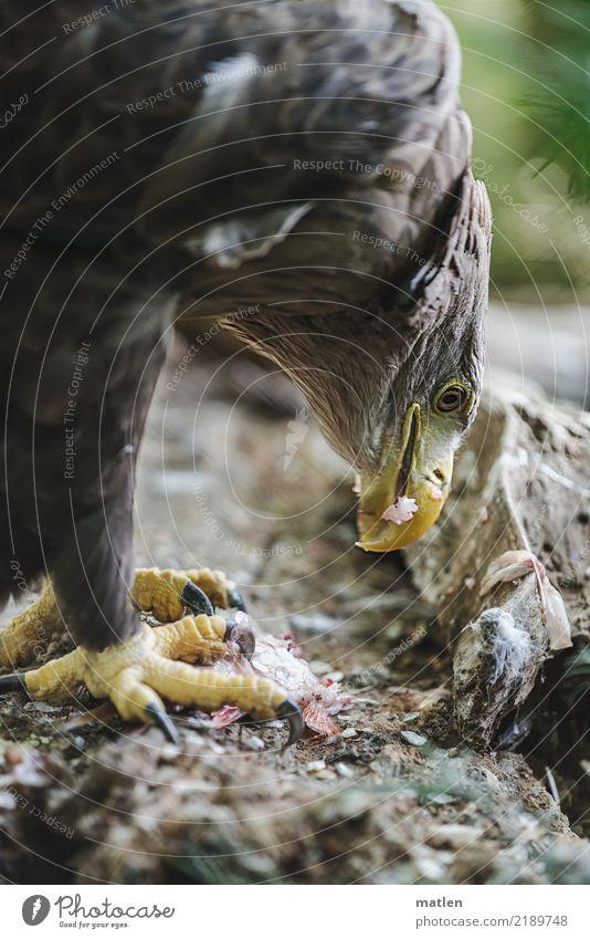 Häppchen Totes Tier Vogel Fisch Tiergesicht Schuppen Krallen 2 Fressen nah braun gelb grün Schnabel Appetit & Hunger Seeadler Teile u. Stücke Farbfoto