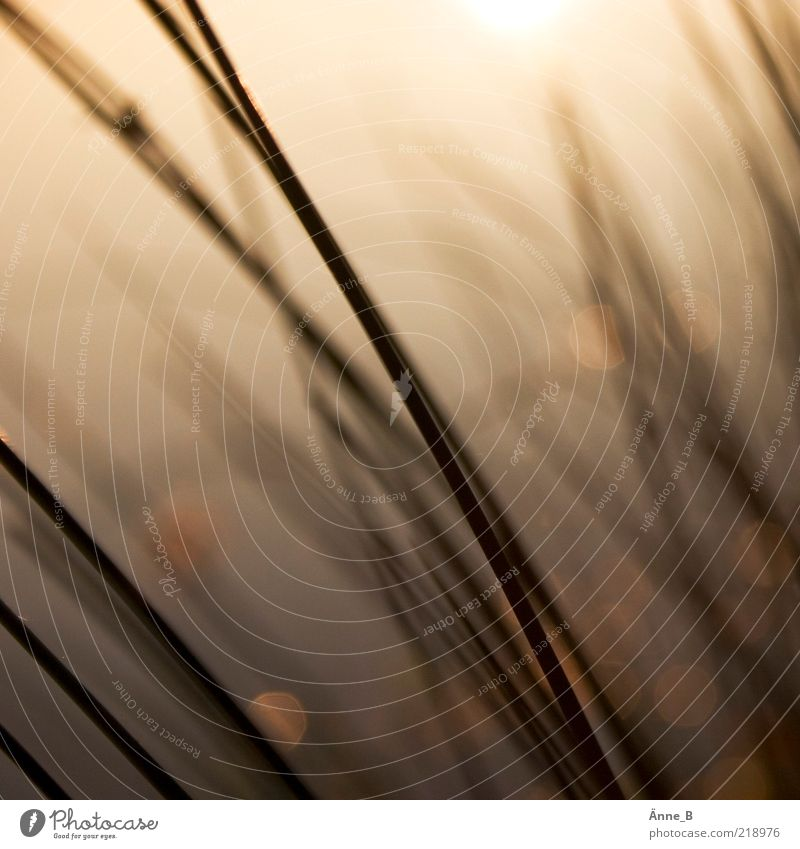 Halme Natur Pflanze Sommer gelb Wiese Gefühle Gras Bewegung Stimmung Linie braun gold Sträucher Streifen Urelemente streichen