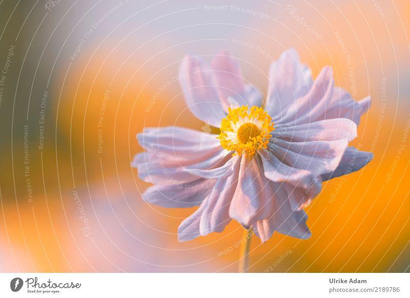 Herbst Anemone harmonisch Wohlgefühl Zufriedenheit Erholung ruhig Meditation Valentinstag Muttertag Natur Pflanze Sonnenlicht Blume Blüte Anemonen Herbstanemone