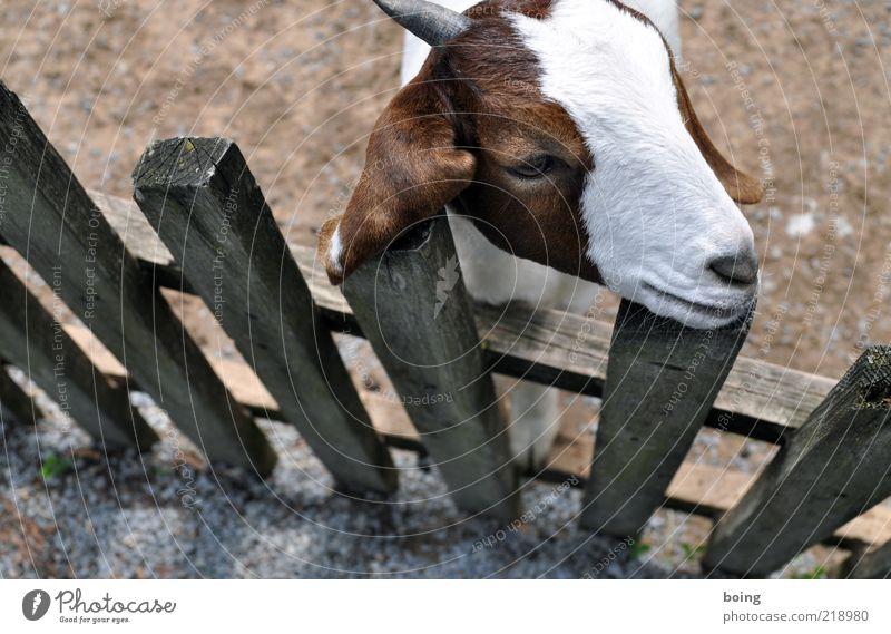 Königin der Meere ruhig Kopf Zoo niedlich Bauernhof Zaun Wachsamkeit Haustier Ziegen Nutztier Tier Tierjunges Streichelzoo Holzzaun Bretterzaun