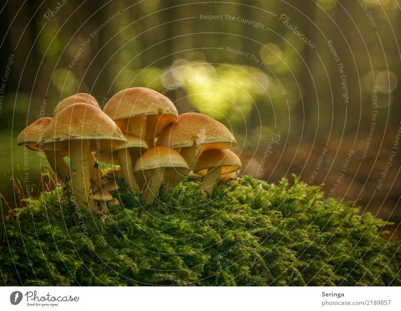 Gruppensitzung Natur Pflanze Tier Herbst Moos Park Wald Essen glänzend Wachstum lecker natürlich schön mehrfarbig gelb gold grün orange Pilzgruppe Pilzkopf