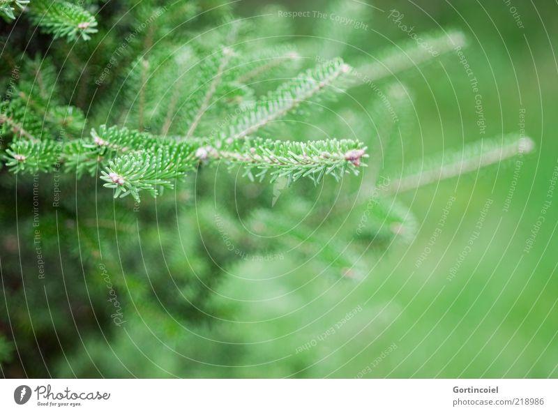 Zweig Pflanze Baum grün Nadelbaum Tanne Tannennadel Tannenzweig Weihnachtsbaum Farbfoto Außenaufnahme Textfreiraum rechts Schwache Tiefenschärfe Menschenleer
