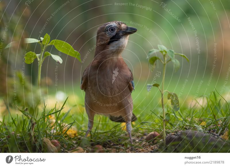 Eichelhäher Umwelt Natur Tier Frühling Sommer Herbst Schönes Wetter Pflanze Gras Sträucher Grünpflanze Garten Park Wiese Wald Wildtier Vogel Tiergesicht Flügel