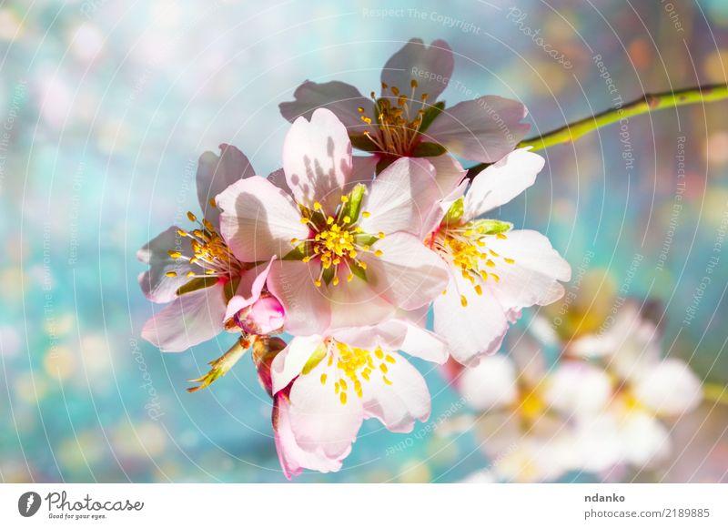 Zweig blühender Mandeln schön Garten Natur Pflanze Himmel Baum Blume Blatt Blüte Park frisch hell natürlich blau rosa weiß Hintergrund Ast Frühling