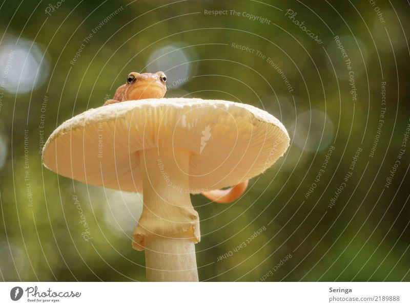 Teichmolch mit Aussichtspunkt auf einem Knollenblätterpilz nackt Pflanze Sommer schön grün Tier Wald gelb Herbst außergewöhnlich orange Park leuchten Wildtier
