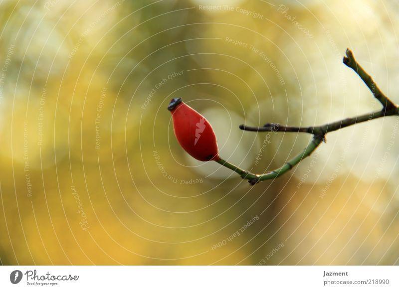 Einsam rot ruhig Herbst Umwelt Hagebutten
