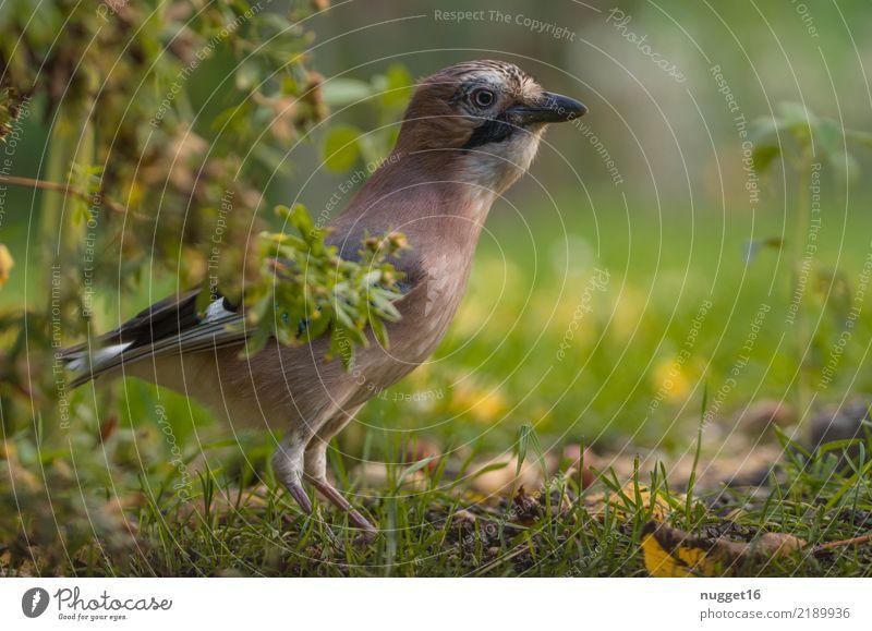 Eichelhäher Umwelt Natur Tier Frühling Sommer Herbst Schönes Wetter Pflanze Gras Sträucher Garten Park Wiese Wald Wildtier Vogel Tiergesicht Flügel 1 ästhetisch