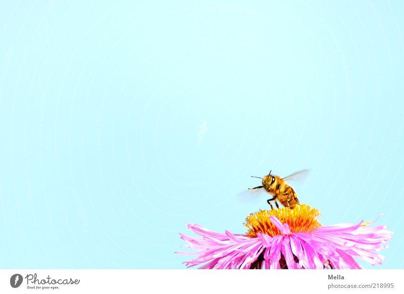 Startklar Natur Himmel Pflanze Blume Blüte Astern Tier Biene 1 Bewegung Duft klein natürlich positiv blau violett rosa fleißig Umwelt arbeitsfreudig Flügel