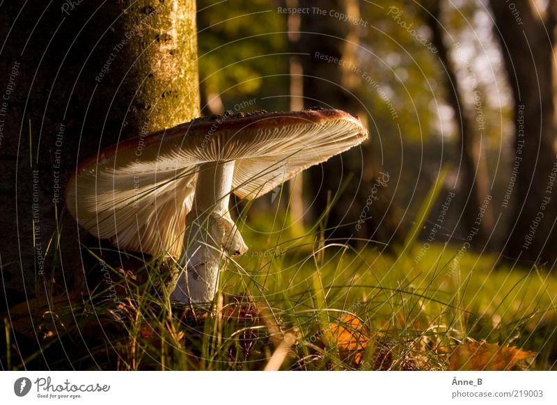 Gut behütet Natur grün weiß Sommer ruhig Herbst Umwelt Gras braun Wachstum Schönes Wetter Pilz Waldboden Lamelle Pilzhut Sonnenlicht