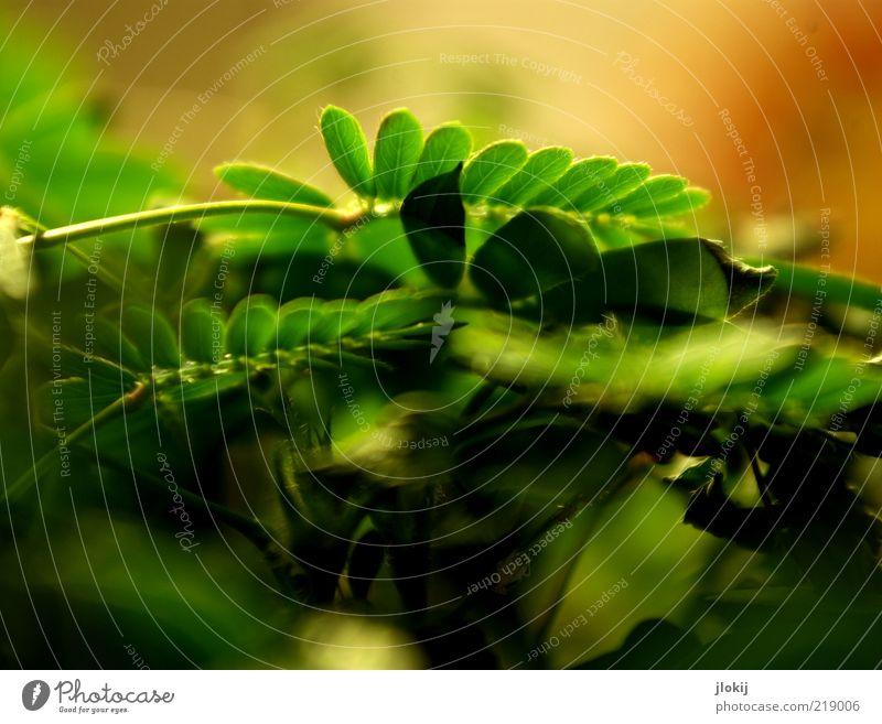 Sensibelchen grün Pflanze Blatt braun Wachstum Makroaufnahme
