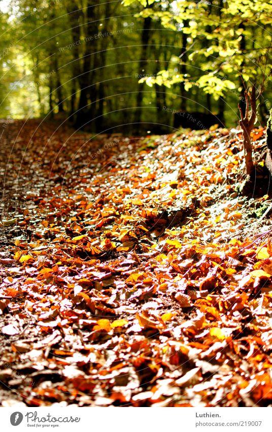 Blattgestöber Natur grün Pflanze Blatt Wald Herbst braun Erde Fußweg Schönes Wetter Herbstlaub Waldboden herbstlich Wegrand Herbstfärbung