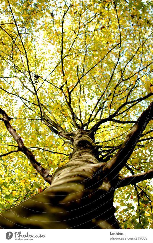 Baum Natur Pflanze Herbst Wald Holz groß Farbfoto Außenaufnahme Menschenleer Tag Schwache Tiefenschärfe grün Baumstamm Blatt Blätterdach Froschperspektive