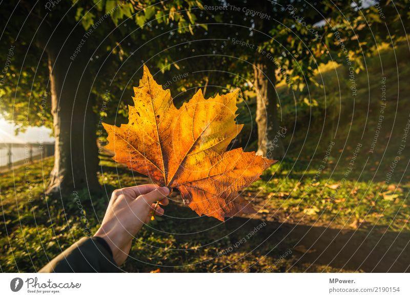 herbstfarben Hand 1 Mensch Natur Sonne Herbst Schönes Wetter Pflanze Baum Blatt Park gelb gold orange Ahornblatt herbstlich Herbstfärbung Wald haltend stoppen
