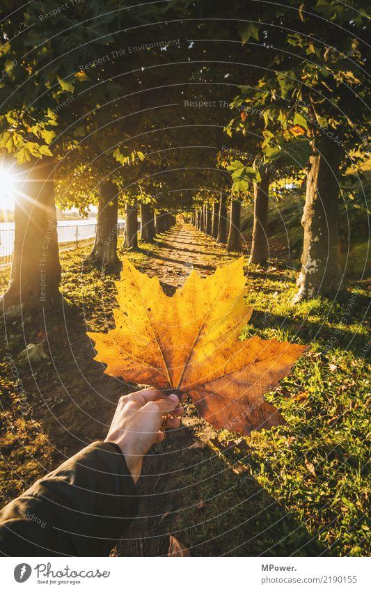 herbstfarben Herbst gold orange Ahornblatt Hand 1 Mensch Natur Sonne Schönes Wetter Pflanze Baum Blatt Park gelb herbstlich Herbstfärbung Wald haltend stoppen