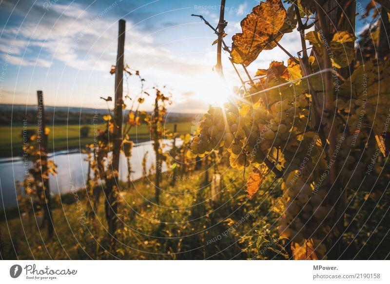weinhang Umwelt Schönes Wetter Hügel Natur Weinberg Weintrauben Winzer Blendenfleck Elbe Sachsen Elbhang Dresden Weinlese Frucht Weinbau Farbfoto Außenaufnahme