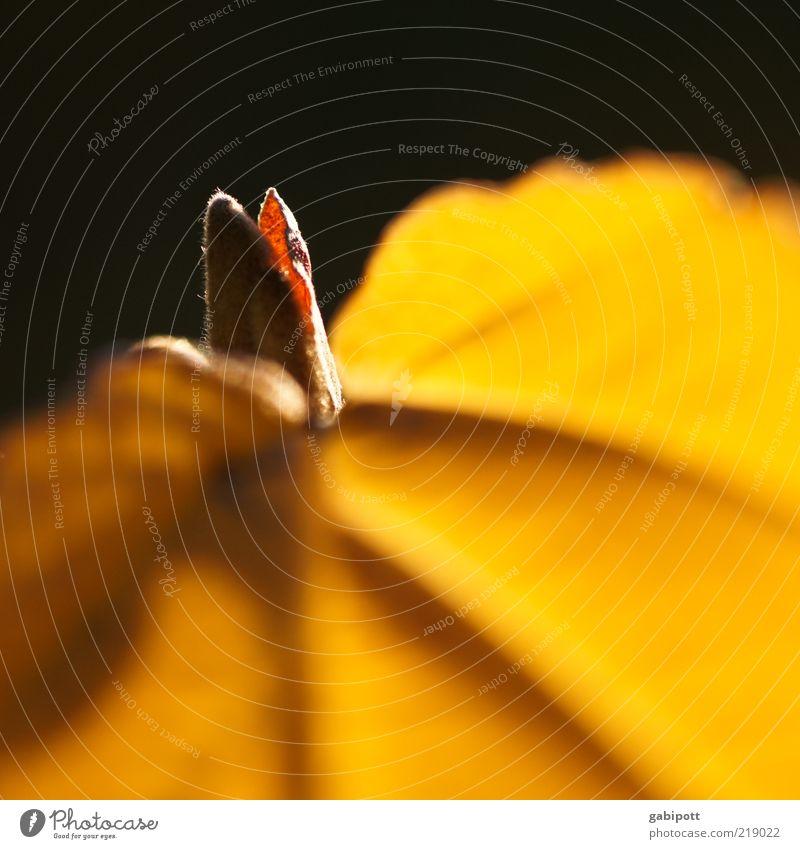 gelb Natur Pflanze Blatt Herbst Blüte frisch Fröhlichkeit Wachstum Spitze zart leuchten Freundlichkeit Lebensfreude Blattknospe Blattadern