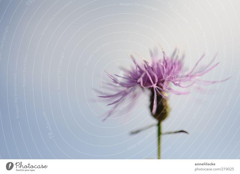 Flockenblume Umwelt Natur Pflanze Himmel Sommer Schönes Wetter Blume Blüte Blühend Duft schön blau violett Wachstum zart Farbfoto Außenaufnahme Nahaufnahme