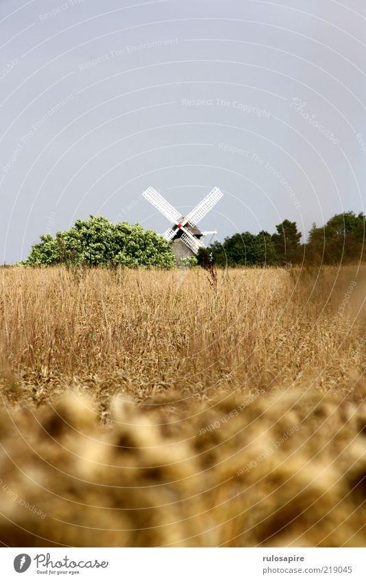 Weizen - Mühle Sommer Landschaft Luft Himmel Wolkenloser Himmel Feld Ærø Bauwerk Gebäude Windmühle Windmühlenflügel blau gelb gold grau grün weiß Bewegung