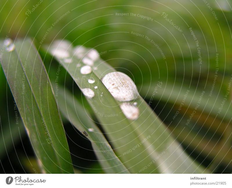 nach dem Regen Gras Wassertropfen Makroaufnahme Nahaufnahme grün Wiese Rasen Blatt Halm Tau