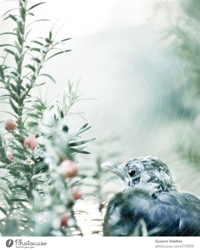 leise. Sträucher Tier Wildtier Vogel Tiergesicht beobachten ruhig Eibe Einsamkeit warten Versteck verstecken Neugier Gedeckte Farben Außenaufnahme Nahaufnahme