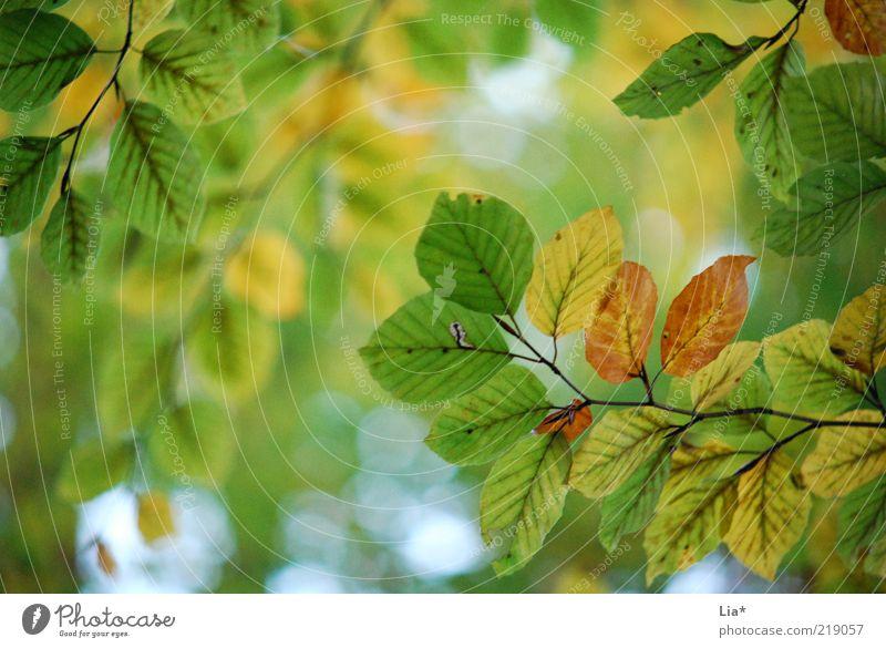 herbstallerliebst Natur grün Blatt Herbst Zweig Herbstlaub herbstlich Blattgrün Herbstfärbung Blätterdach Herbstbeginn
